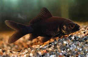 Black Comet Goldfish (Collect in store only)