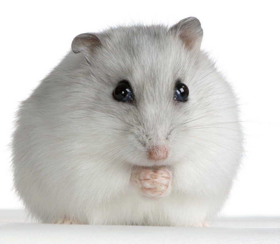 how to tell the sex of a dwarf hamster