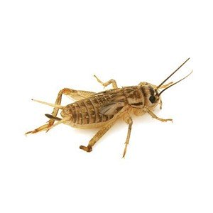 Extra Large Live Brown Crickets