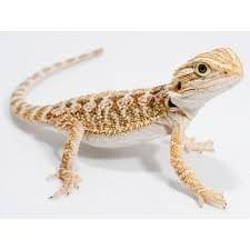 lizards for sale