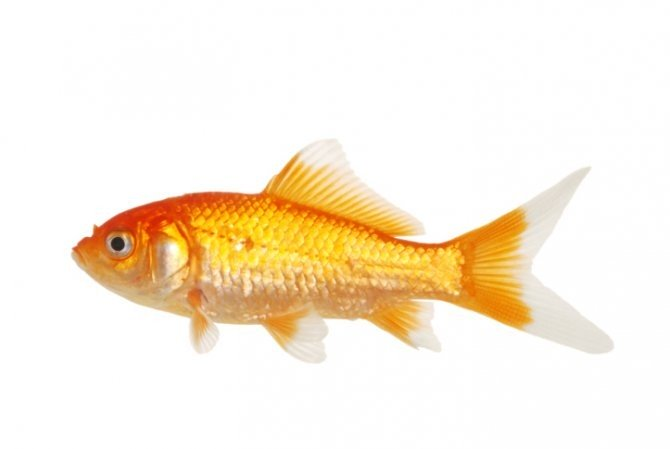 Pond fish for sale for Fish for sale online