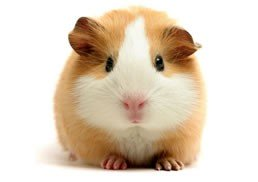 Guinea Pigs-Only available in-store