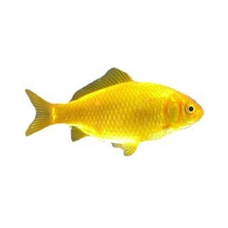 Yellow Goldfish (Collect in store only)