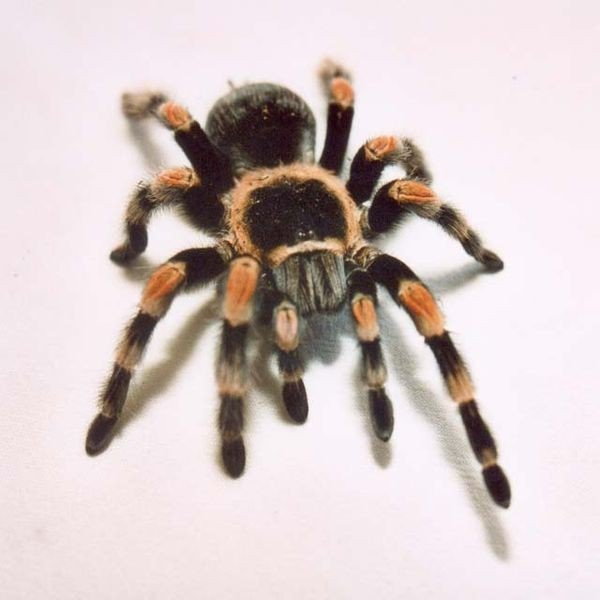 spiders for sale